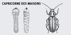 insectes et larves xylophages Traitement bois Hendaye